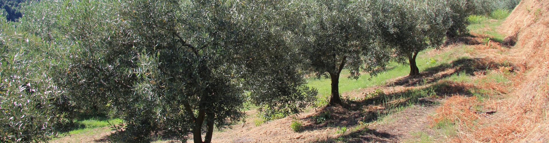 """Olio extravergine di oliva """"San Ciuanni"""" bottiglia da 500 ml"""